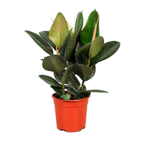 Rubber-plant