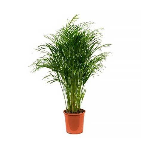 Areca Palm (Chrysalidocarpus)