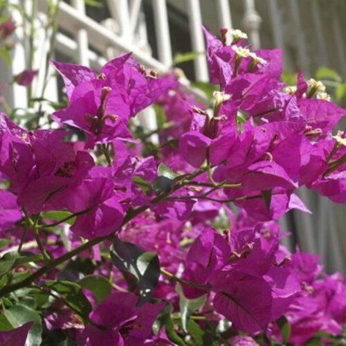 Bougainvillea glabra - Pink