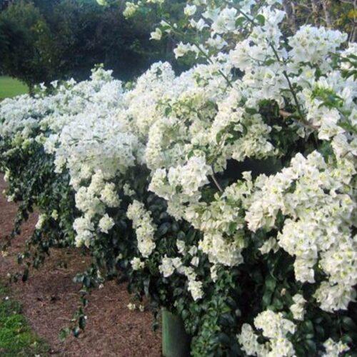 Bougainvillea glabra - White