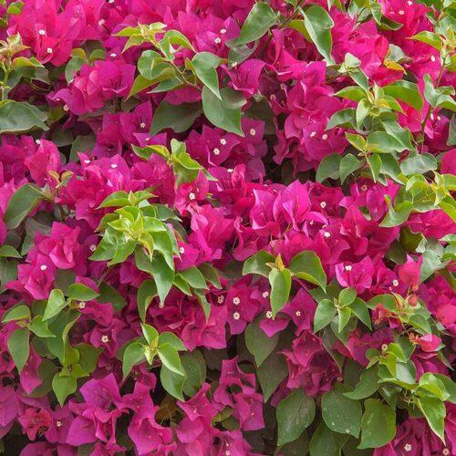 Bougainvillea glabra – Red
